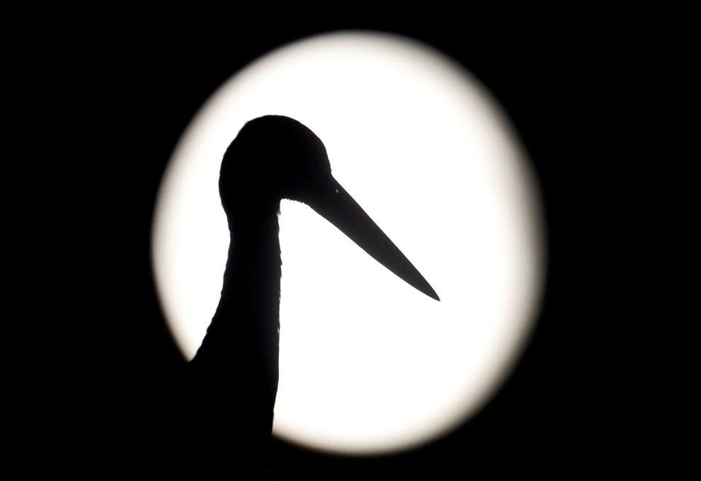 12.NIEMCY, Sieversdorf, 4 sierpnia 2012: Sylwetka bociana na tle tarczy Księżyca. AFP PHOTO / PATRICK PLEUL