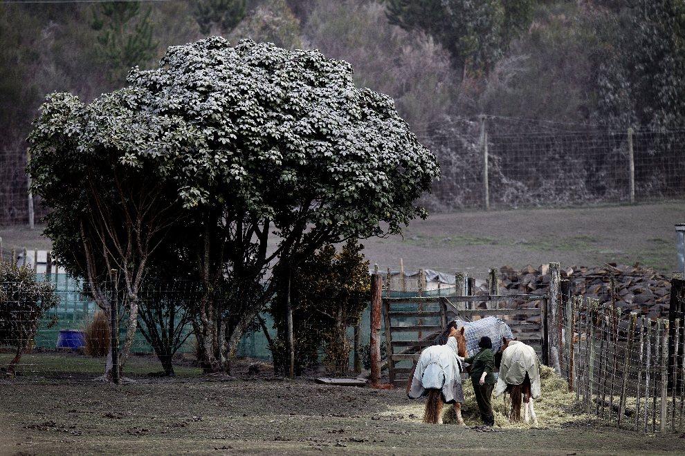 14.NOWA ZELANDIA, Rangipo, 7 sierpnia 2012: Farma pokryta pyłem wulkanicznym po erupcji wulkanu Tongariro. AFP PHOTO / Marty Melville