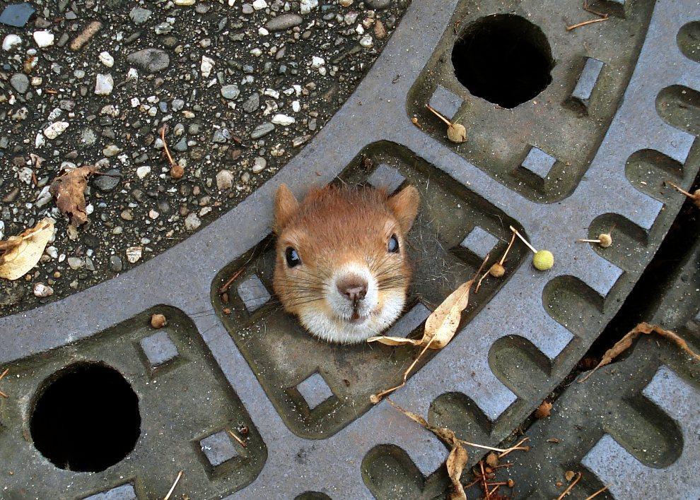 30.NIEMCY, Isernhagen, 5 sierpnia 2012: Zdjęcie udostępnione przez policję przedstawia wiewiórkę, która utknęła we włazie kanalizacyjnym. AFP PHOTO / HO / POLICE