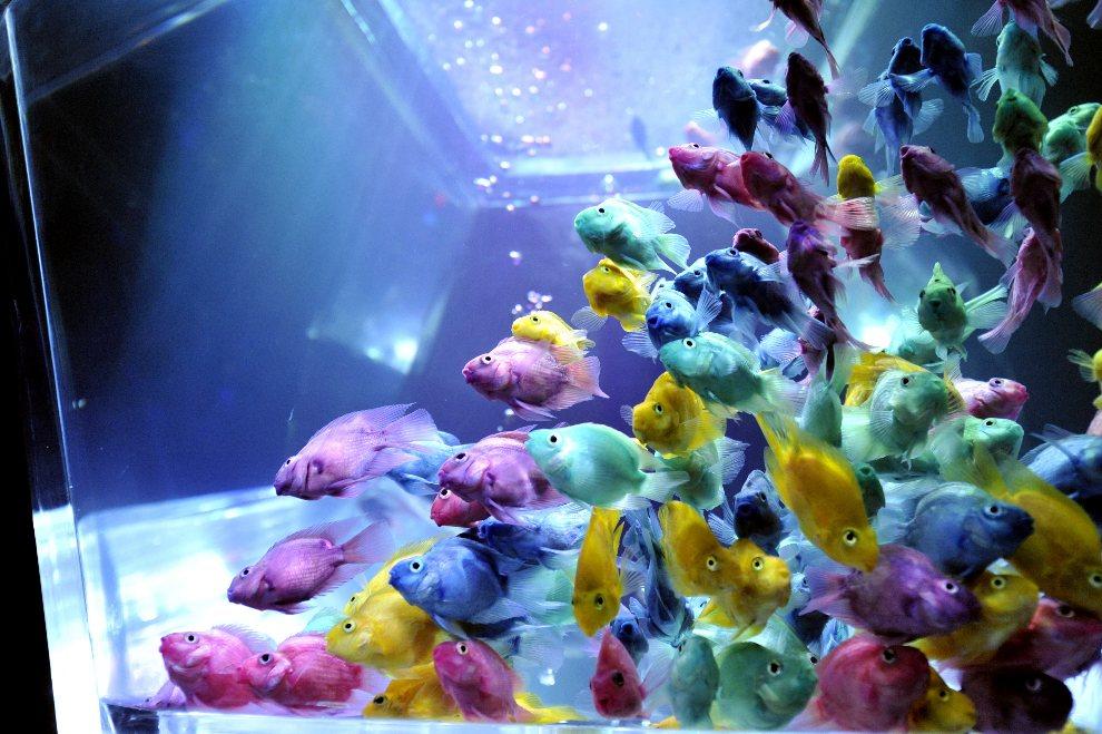 7.JAPONIA, Tokio, 16 sierpnia 2012: Wielobarwne złote rybki na wystawie akwarystycznej w Tokio. AFP PHOTO / Yoshikazu TSUNO