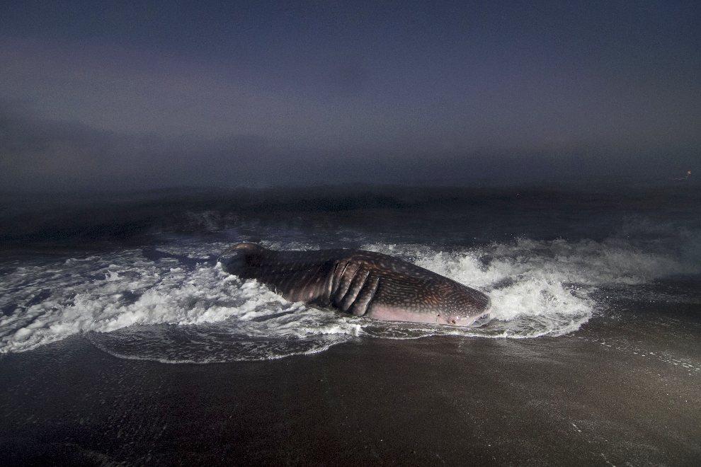 8.INDONEZJA, Yogyakarta, 2 sierpnia 2012: Rekin wielorybi wyrzucony na brzeg niedaleko Yogyakarty. AFP PHOTO / SURYO WIBOWO
