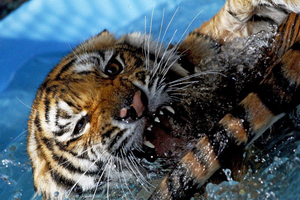 8.MEKSYK, Guadalajara, 4 sierpnia 2012: Tygrys bengalski w trakcie zabawy w basenie. AFP PHOTO/Hector Guerrero