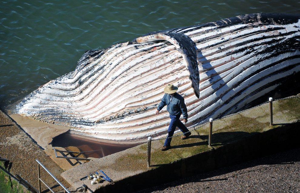 9.AUSTRALIA, Sydney, 1 sierpnia 2012: Pracownik parku przyrodniczego bada ciało trzydziestotonowego humbaka. AFP PHOTO / Torsten BLACKWOOD