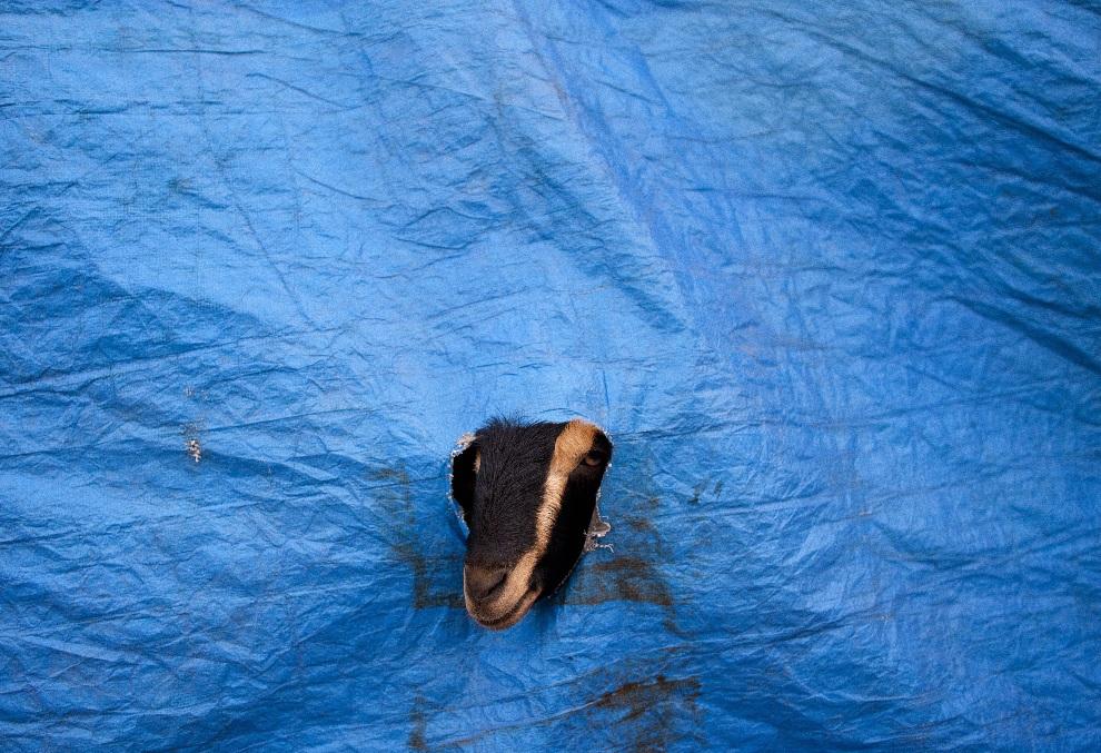14.INDIE, New Delhi, 22 października 2012: Koza wygląda przez dziurę w namiocie, na targu zwierząt w New Delhi. AFP PHOTO/ANDREW CABALLERO-REYNOLDS