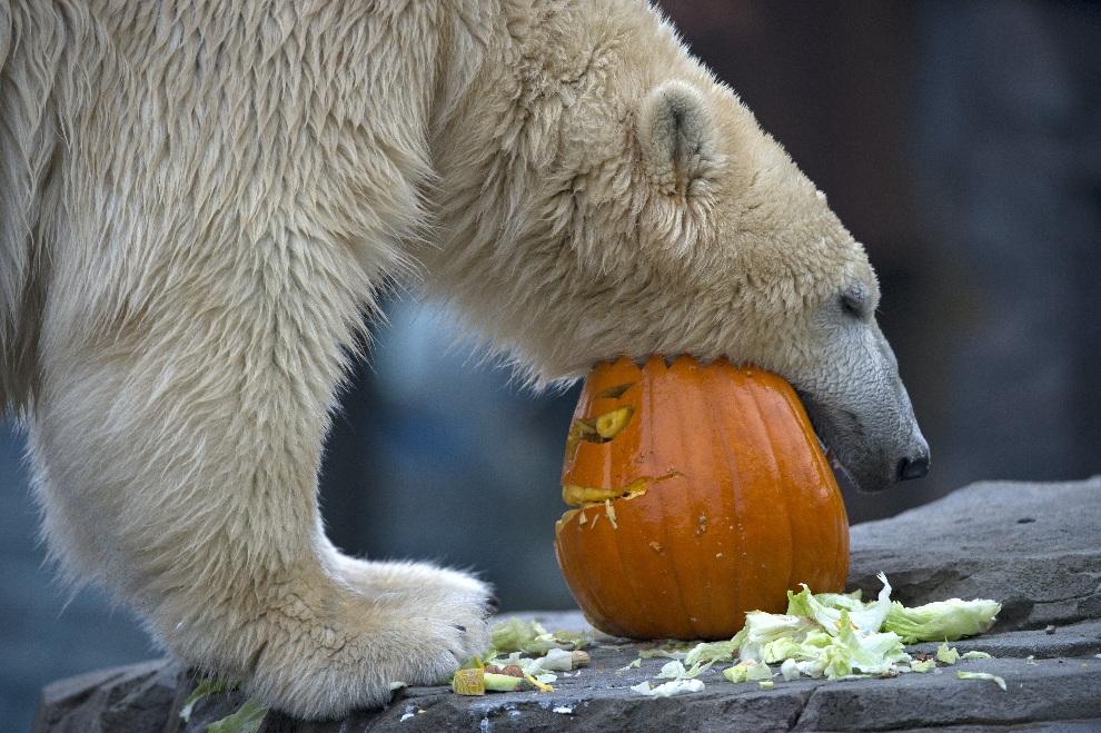 15.NIEMCY, Hanower, 25 października 2012: Niedźwiedź polarny Sprinter zajmuje się swoim posiłkiem. AFP PHOTO / EMILY WABITSCH