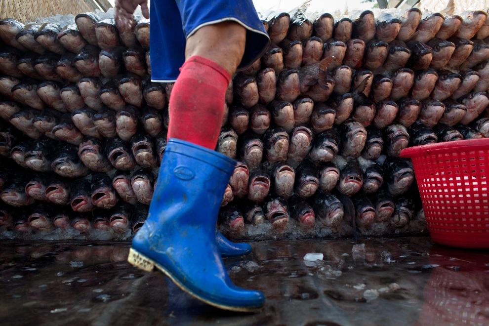15.MJANMA, Rangun, 9 grudnia 2010: Stos sprzedanych ryb przygotowanych do transportu. (Foto:  Drn/Getty Images)