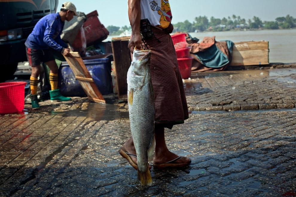 1.MJANMA, Rangun, 9 grudnia 2010: Pracownik portu z rybą. (Foto:  Drn/Getty Images)