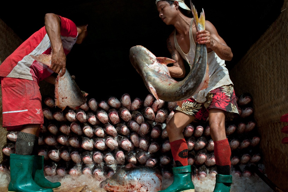 24.MJANMA, Rangun, 9 grudnia 2010: Ryby ładowane na przyczepę ciężarówki. (Foto:  Drn/Getty Images)