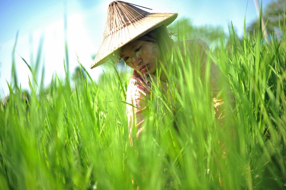 29.MJANMA, Naypyidaw, 20 października 2012: Kobieta pracująca na polu ryżowym. AFP PHOTO/ Soe Than WIN