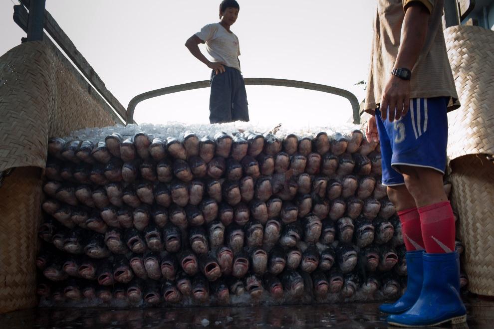 3.MJANMA, Rangun, 9 grudnia 2010: Ryby ułożone w stos przekładany lodem na przyczepie ciężarówki. (Foto:  Drn/Getty Images)