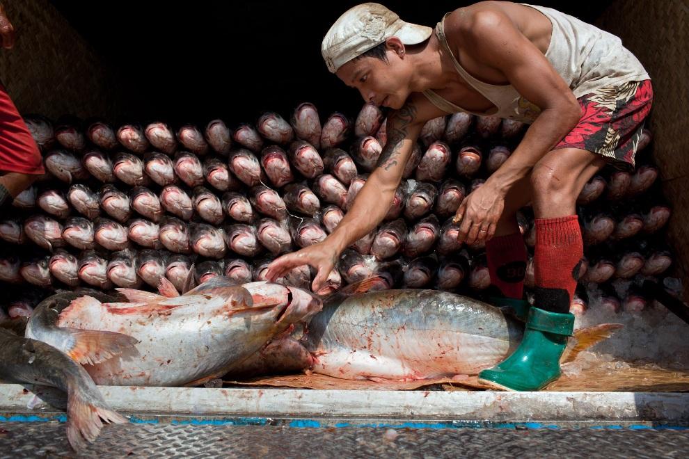 4.MJANMA, Rangun, 9 grudnia 2010: Mężczyzna układa ryby w naczepie ciężarówki. (Foto:  Drn/Getty Images)
