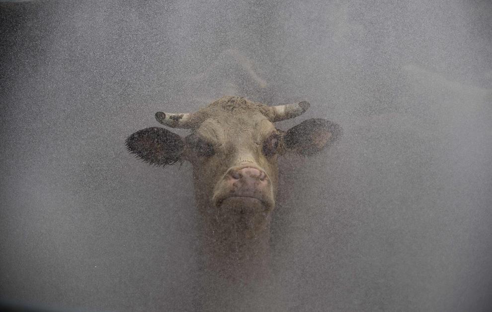 10.URUGWAJ, San Jacinto, 31 października 2012: Krowa myta wodą przed wejściem do rzeźni. AFP PHOTO/Pablo PORCIUNCULA