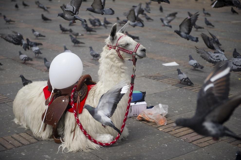 11.KOLUMBIA, Bogota, 26 października 2012: Lama na Placu Bolivara w centrum Bogoty. AFP PHOTO/Eitan Abramovich