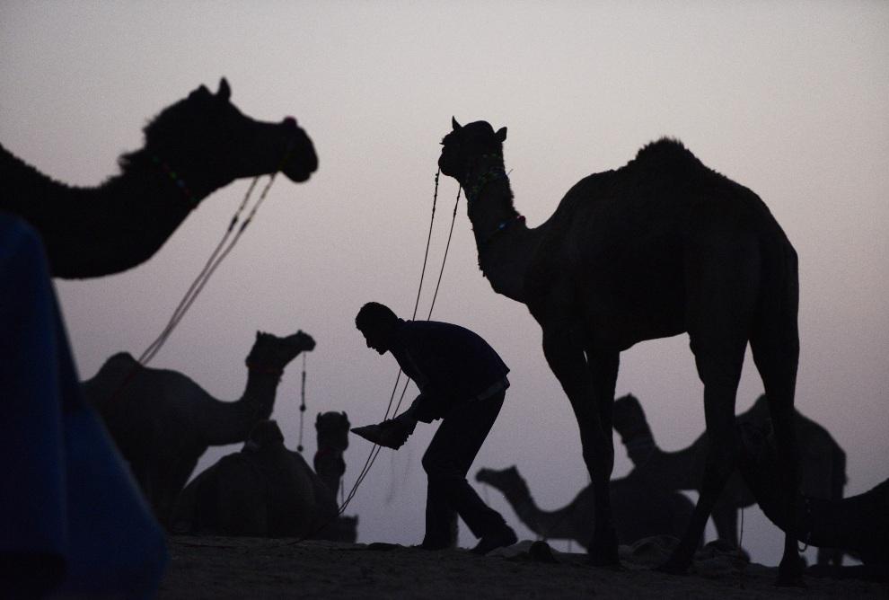 12.INDIEA, Puszkar, 20 listopada 2012: Mężczyzna zajmujący się sprzedawanymi wielbłądami. AFP PHOTO/Roberto Schmidt