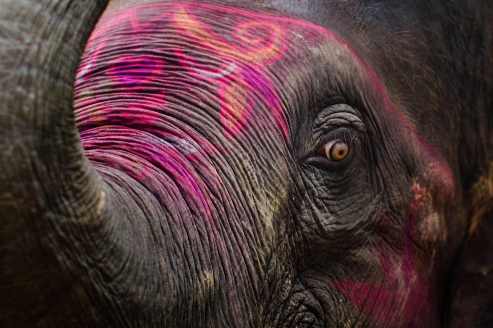 1.INDIE, Sonepur, 15 listopada 2011: Słoń wystawiony na sprzedaż, przyozdobiony kolorowymi farbami. (Foto: Daniel Berehulak/Getty Images)