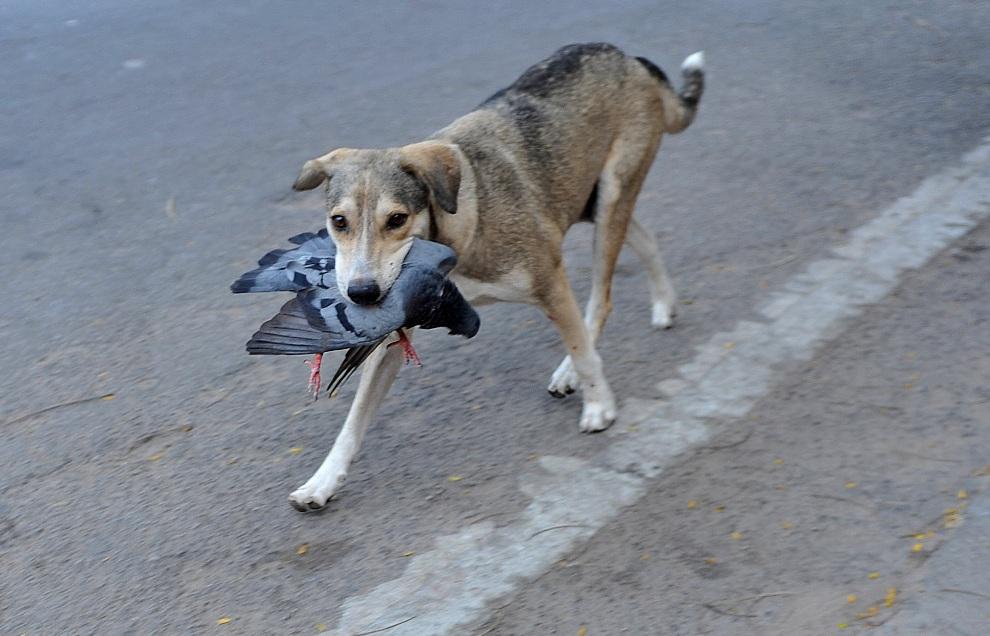 21.INDIE, Hyderabad, 26 listopada 2012: Pies niesie w pysku upolowanego gołębia. AFP PHOTO / Noah SEELAM