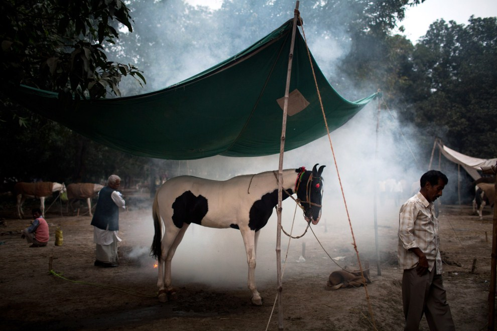 2.INDIE, Sonepur, 16 listopada 2011: Właściciel sprzedawanego konia rozpala ognisko, aby dymem odpędzać insekty. (Foto: Daniel Berehulak/Getty Images)