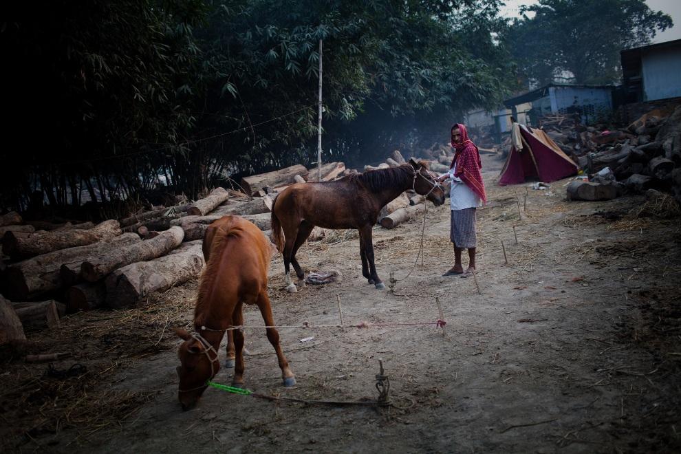 3.INDIE, Sonepur, 17 listopada 2011: Sprzedawca dogląda swoich koni. (Foto: Daniel Berehulak/Getty Images)