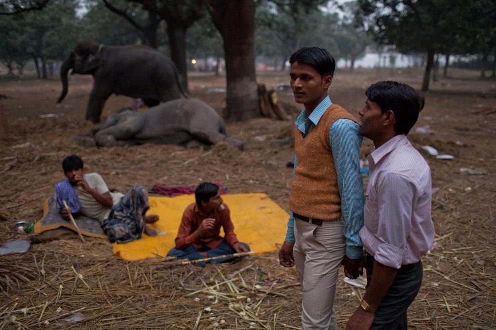 4.INDIE, Sonepur, 14 listopada 2011: Chłopcy oglądają sprzedawane na targu zwierzęta. (Foto: Daniel Berehulak/Getty Images)