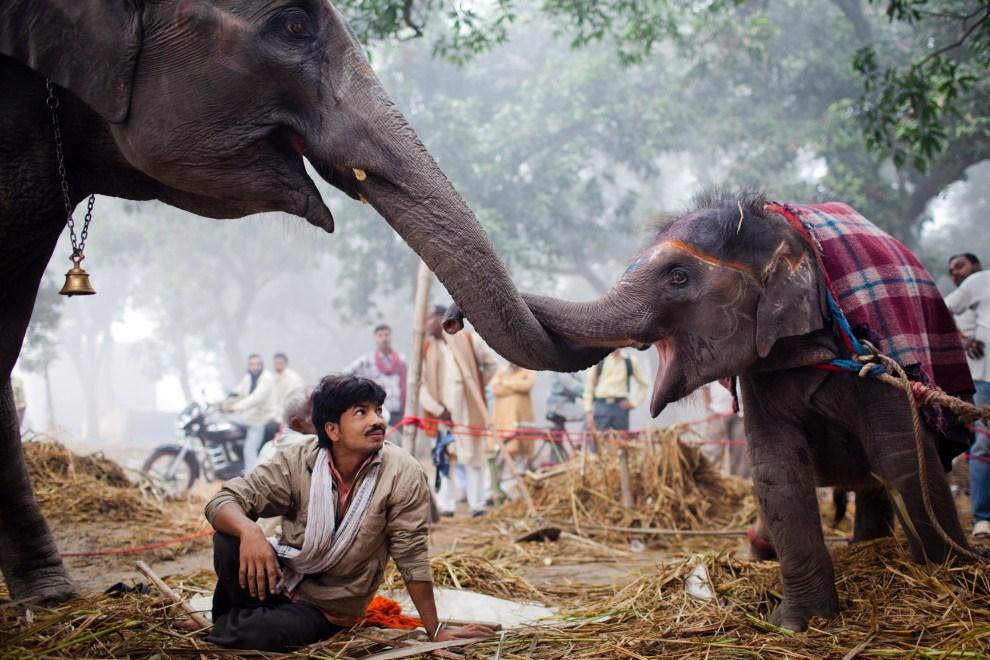 5.INDIE, Sonepur, 15 listopada 2011: Słonica pociera trąbą swoją trzynastomiesięczną córkę. (Foto: Daniel Berehulak/Getty Images)