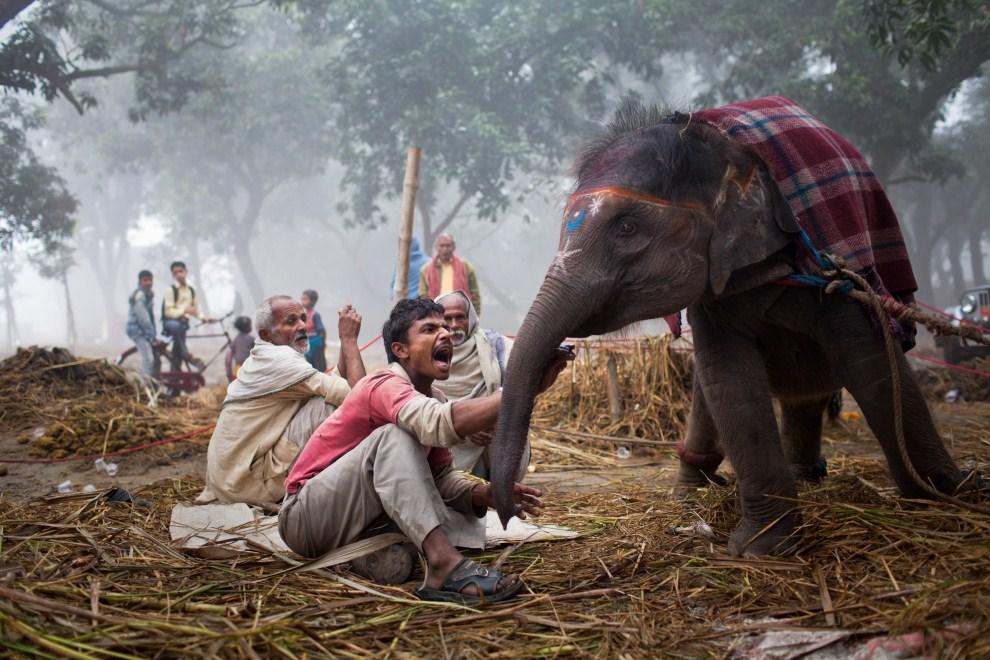 6.INDIE, Sonepur, 15 listopada 2011: Sprzedawca krzyczący na młodą słonicę. (Foto: Daniel Berehulak/Getty Images)