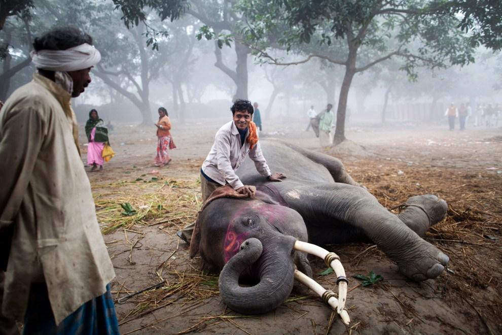 7.INDIE, Sonepur, 15 listopada 2011: Mahut kładzie na ziemi słonia. (Foto: Daniel Berehulak/Getty Images)