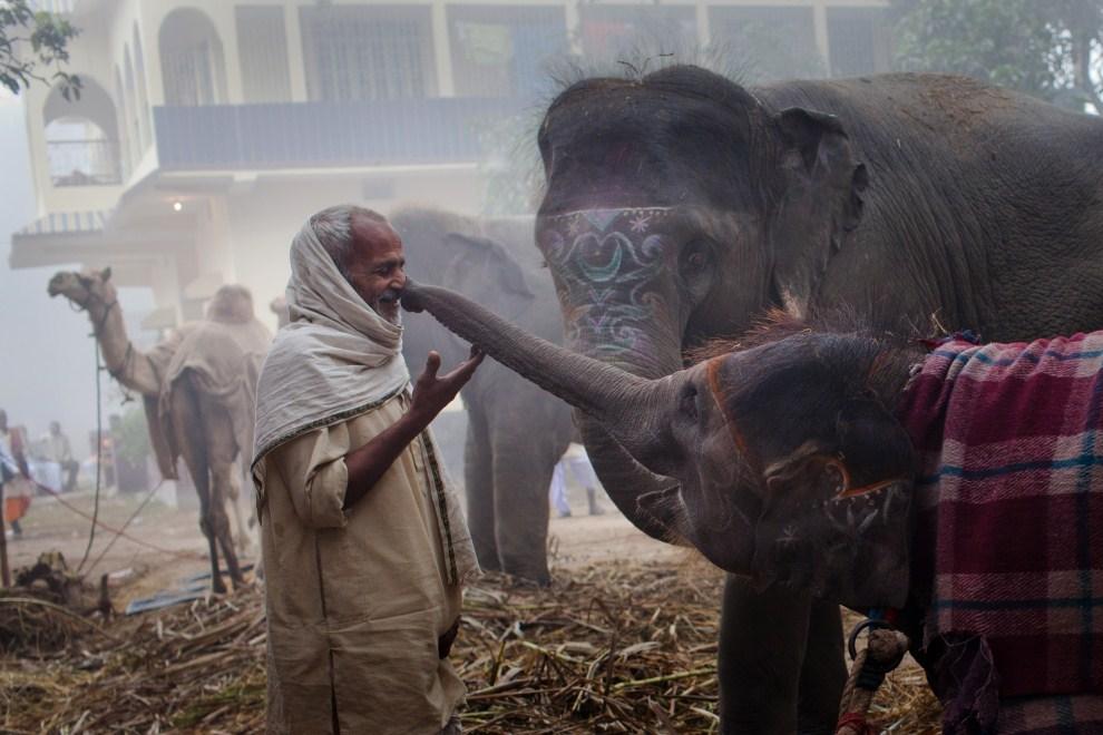 8.INDIE, Sonepur, 15 listopada 2011: Młoda słonia sięga trąbą w kierunku twarzy mahuta. (Foto: Daniel Berehulak/Getty Images)