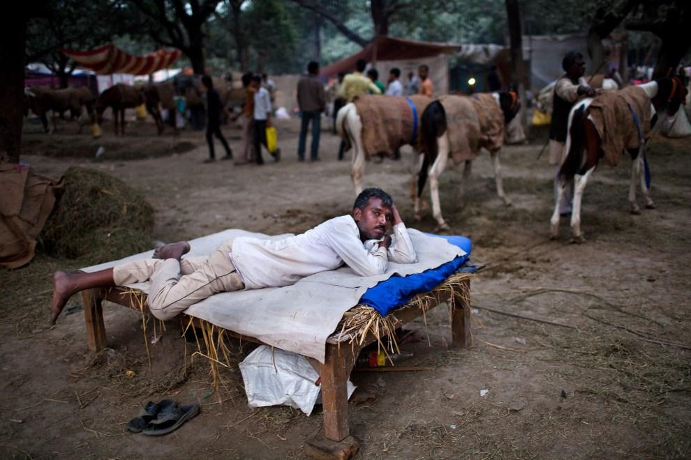 9.INDIE, Sonepur, 16 listopada 2011: Odpoczywający sprzedawca koni. (Foto: Daniel Berehulak/Getty Images)