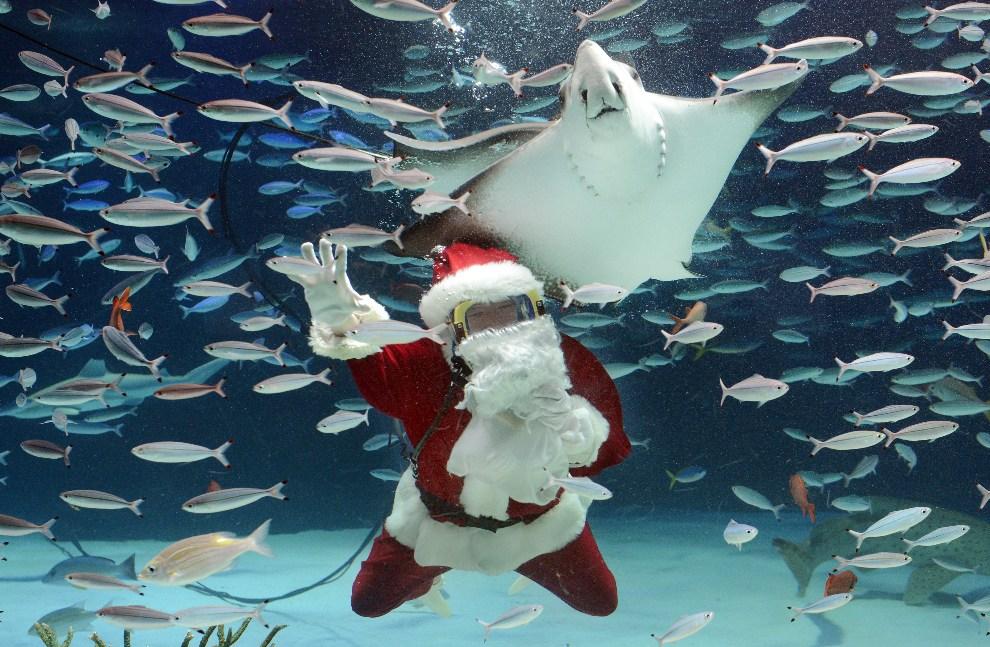 12.JAPONIA, Tokio, 21 grudnia 2012: Nurek w Sunshrie Aquarium w Tokio. AFP PHOTO / Toru YAMANAKA