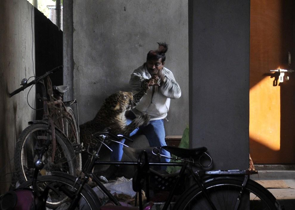18.INDIE, Guwahati, 7 stycznia 2012: Lampart atakujący jednego z mieszkańców Silphukhuri. AFP PHOTO/STR
