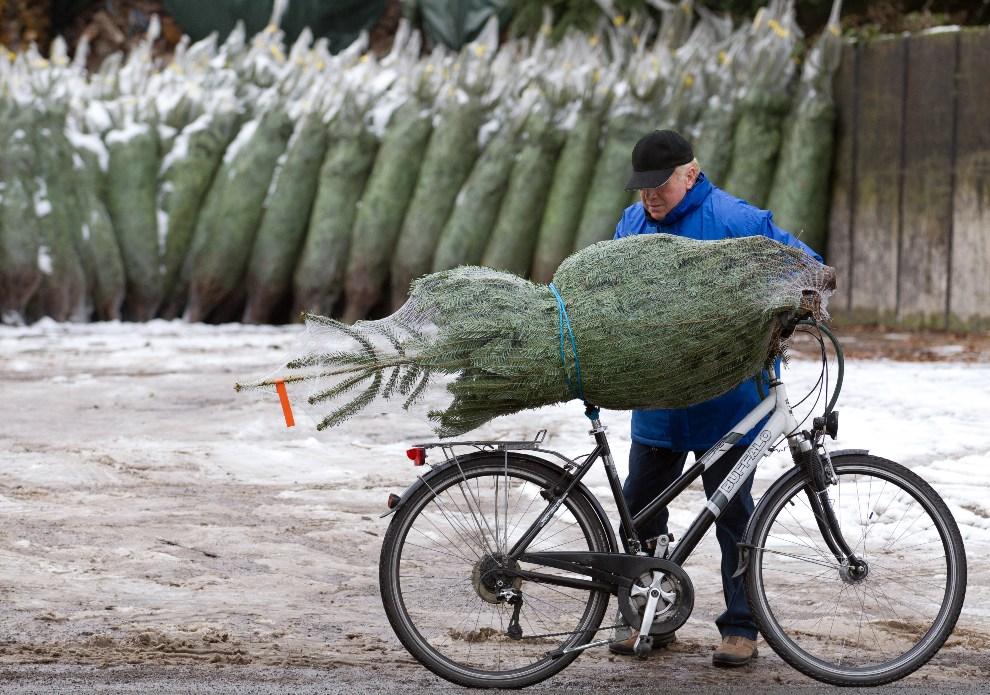 21.NIEMCY, Osnabrück, 12 grudnia 2012: Mężczyzna ładuje kupioną choinkę na rower. AFP PHOTO / FRISO GENTSCH