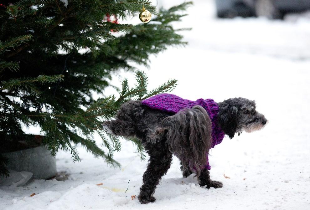 22.NIEMCY, Berlin, 13 grudnia 2012: Pies sikający na choinkę. AFP PHOTO / KAY NIETFELD