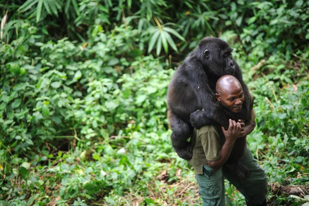 24.DEMOKRATYCZNA REPUBLIKA KONGA, Rumangabo, 17 lipca 2012: Patrick Karabaranga, strażnik z parku Virunga, niesie osieroconego goryla. AFP PHOTO/PHIL MOORE