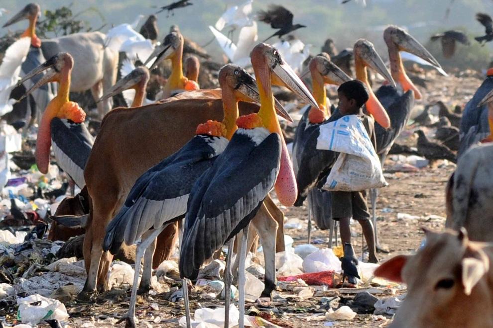 INDIE, Guwahati, 21 listopada 2012: Chłopiec zbierający śmieci na wysypisku w towarzystwie marabutów. AFP PHOTO/Biju BORO