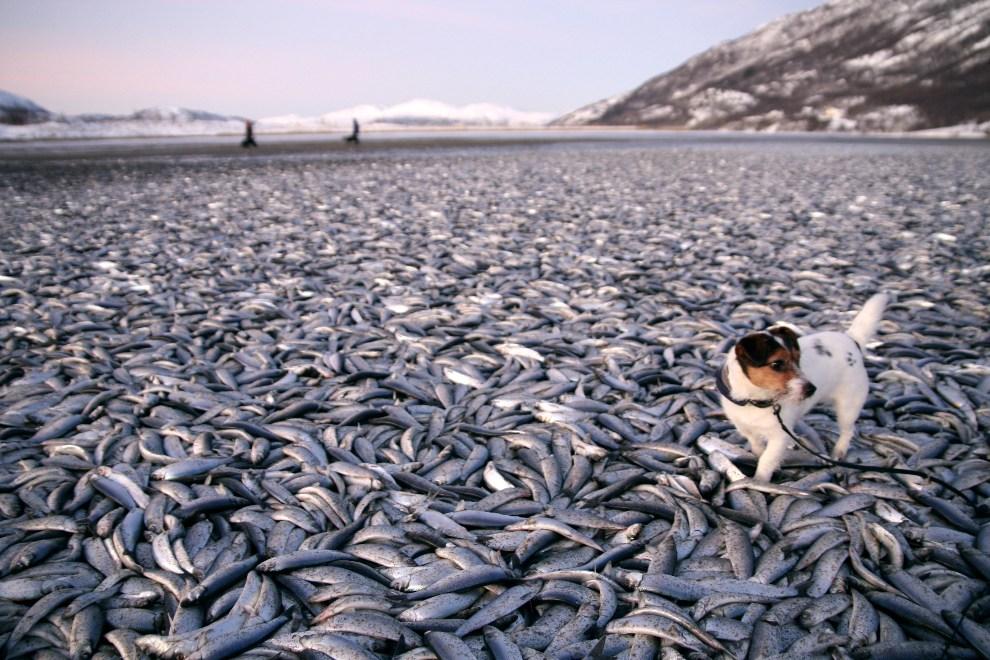 4. NORWEGIA, Kvaenes, 2 stycznia 2012: Suczka Molly brodzi pomiędzy tonami martwych śledzi na plaży w Kvaenes. AFP PHOTO: Jan Petter Jorgensen / Scanpix / Norway