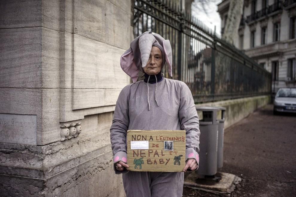 6.FRANCJA, Lyon, 19 grudnia 2012: Kobieta protestująca przeciw uśpieniu dwóch chorych słoni. AFP PHOTO / JEFF PACHOUD