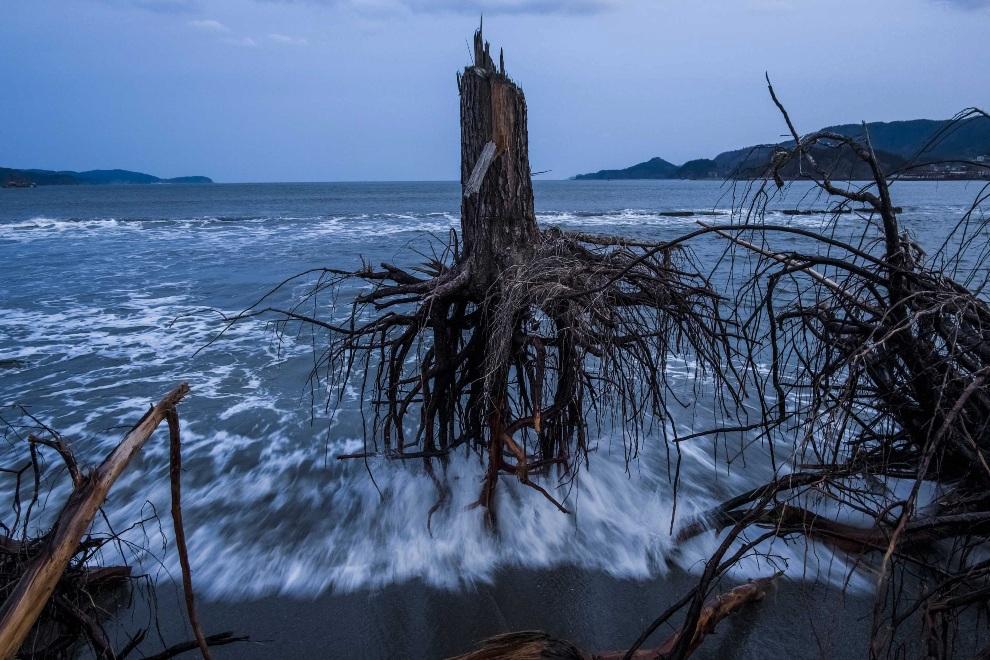 """20.JAPONIA, Rikuzentakata, 7 marca 2012: Trzecie miejsce w kategorii """"News"""". Sosny wyrzucone na brzeg przez falę tsunami. EPA/Daniel Berehulak"""