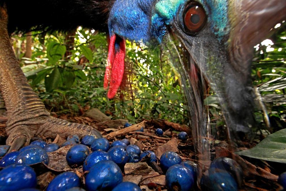 """22.AUSTRALIA, Black Mountain Road, 16 listopada 2012: Pierwsze miejsce w kategorii """"Natura"""". Kazuar hełmiasty, przedstawiciel zagrożonego wyginięciem gatunku.   EPA/CHRISTIAN ZIEGLER / NATIONAL GEOGRAPHIC MAGAZINE"""