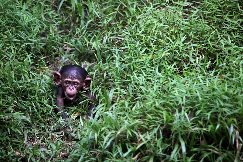 27.MALEZJA, Kuala Lumpur, 10 lutego 2013: Czterodniowy szympans urodzony w miejskim ogrodzie zoologicznym. AFP PHOTO / MOHD RASFAN