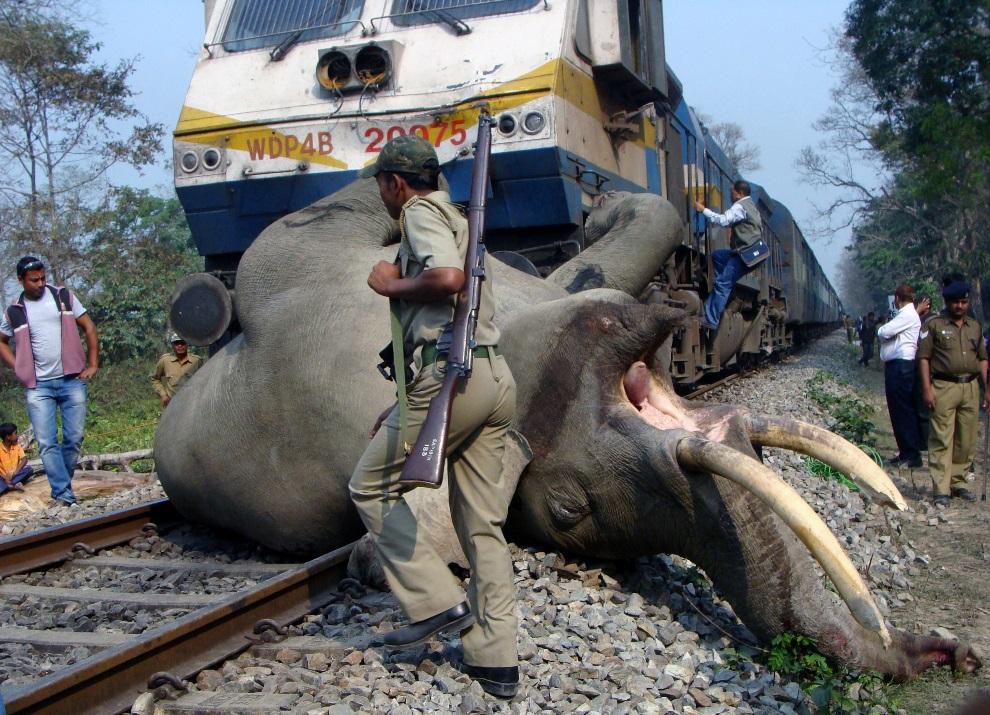 12.INDIE, Rezerwat Buxa, 5 marca 2013: Słoń, który zginął po zderzeniu z pociągiem. AFP PHOTO