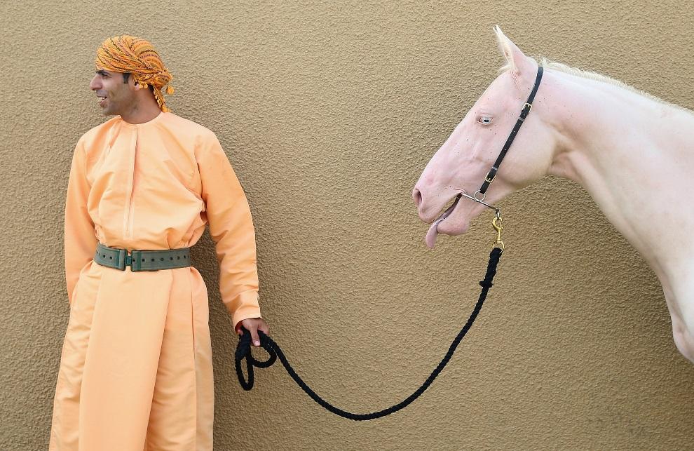 23.OMAN, Muscat, 18 marca 2013: Mężczyzna z koniem-albinosem, przed rozpoczęciem wizyty pary książęcej -  Williama i Katarzyny. (Foto: Chris Jackson/Getty Images)