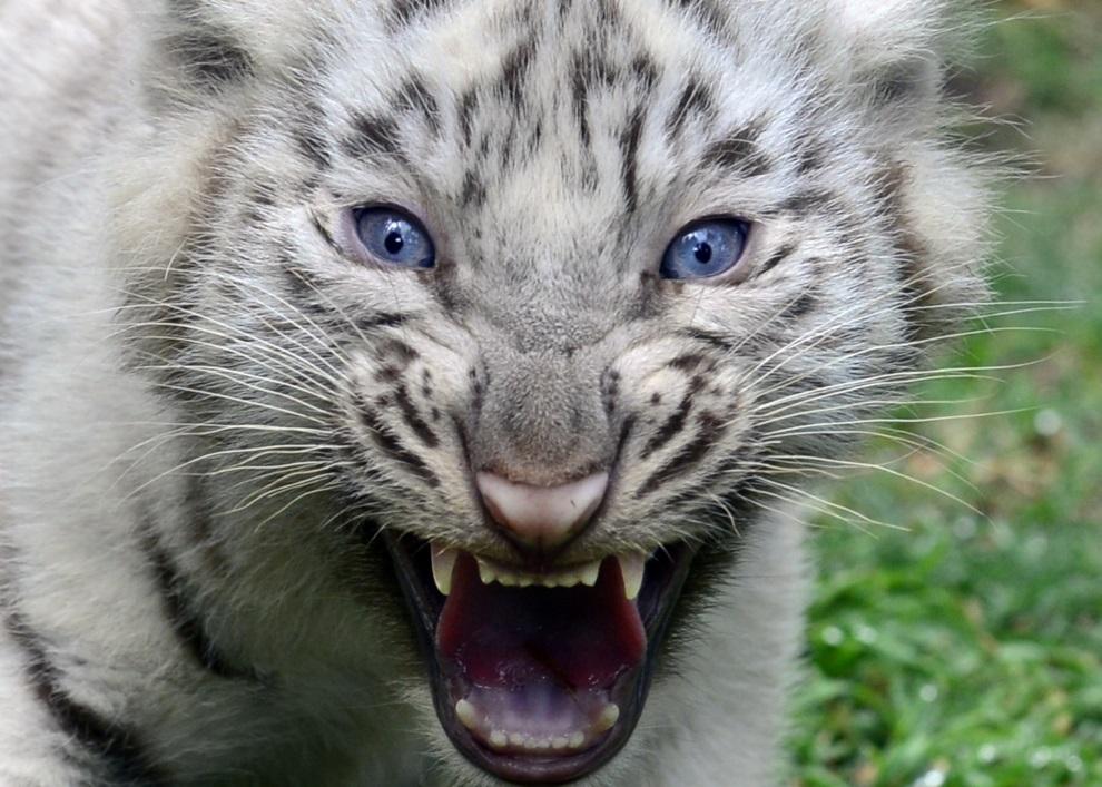 24.ARGENTYNA, Buenos Aires, 21 marca 2013: Jeden z czterech tygrysów bengalskich, które przyszły na świat w miejskim ogrodzie zoologicznym. AFP PHOTO/DANIEL   GARCIA