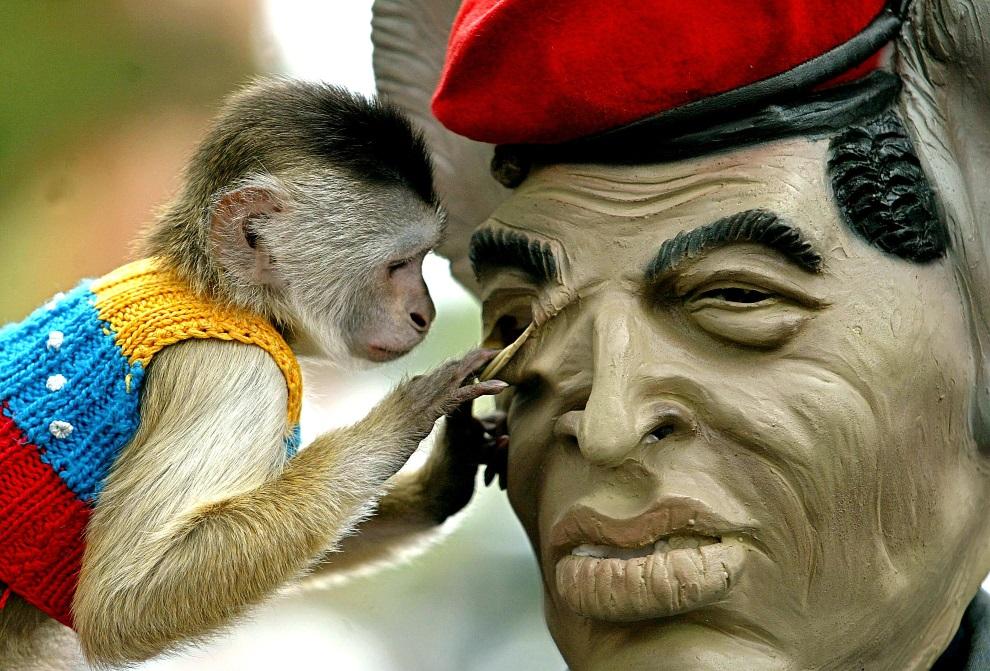 29.WENEZUELA, Caracas, 11 kwietnia 2004: Małpa zagląda do wnętrza maski przedstawiającej Hugo Chaveza. AFP PHOTO/Juan BARRETO