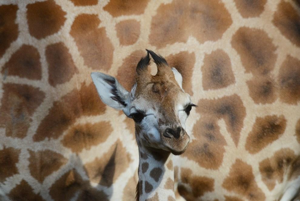 2.CZECHY, Praga, 15 marca 2013: Miesięczna żyrafa z miejskiego ogrodu zoologicznego, na tle matki. AFP PHOTO / MICHAL CIZEK.