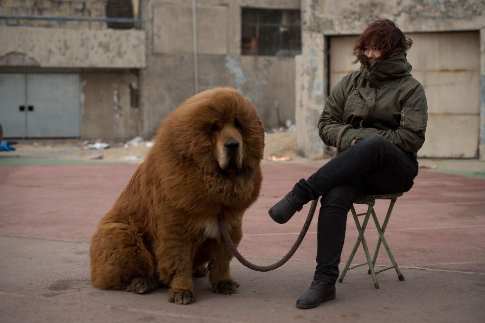 3.CHINY, Baoding, 9 marca 2013: Mastif tybetański wystawiony na sprzedaż. AFP PHOTO / Ed Jones