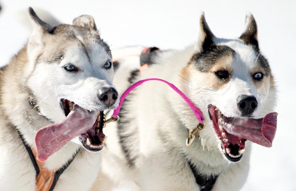 3.NIEMCY, Walgau, 2 marca 2013: Psy biegnące w zaprzęgu.  AFP PHOTO / JOHANNES EISELE