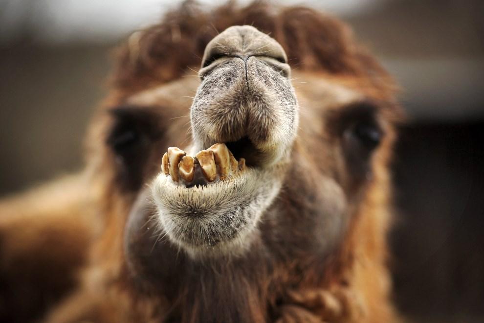 1.NIEMCY, Kronberg, 14 KWIETNIA 2013: Baktrian mieszkający w ogrodzie zoologicznym. AFP PHOTO / FREDRIK VON ERICHSEN