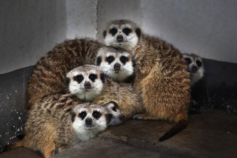 22.CHINY, Changsha, 24 kwietnia 2013: Surykatki z miejskiego zoo.  AFP PHOTO ¬¬