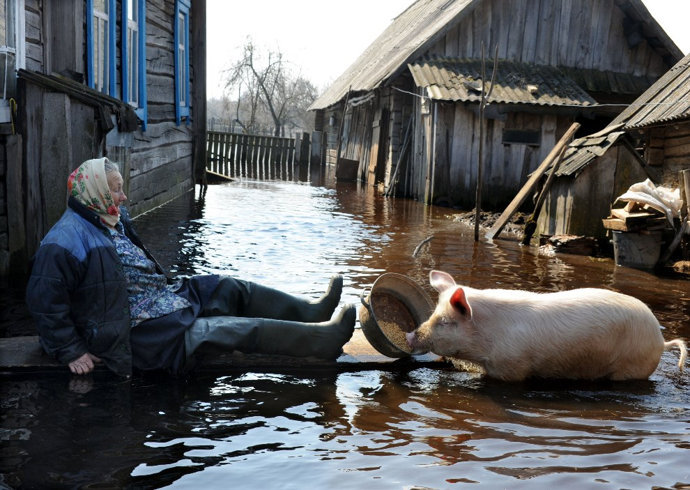 4.BIAŁORUŚ, Śniatyń, 16 kwietnia 2013: Kobieta karmiąca świnię na podtopionym gospodarstwie. AFP PHOTO / VIKTOR DRACHEV