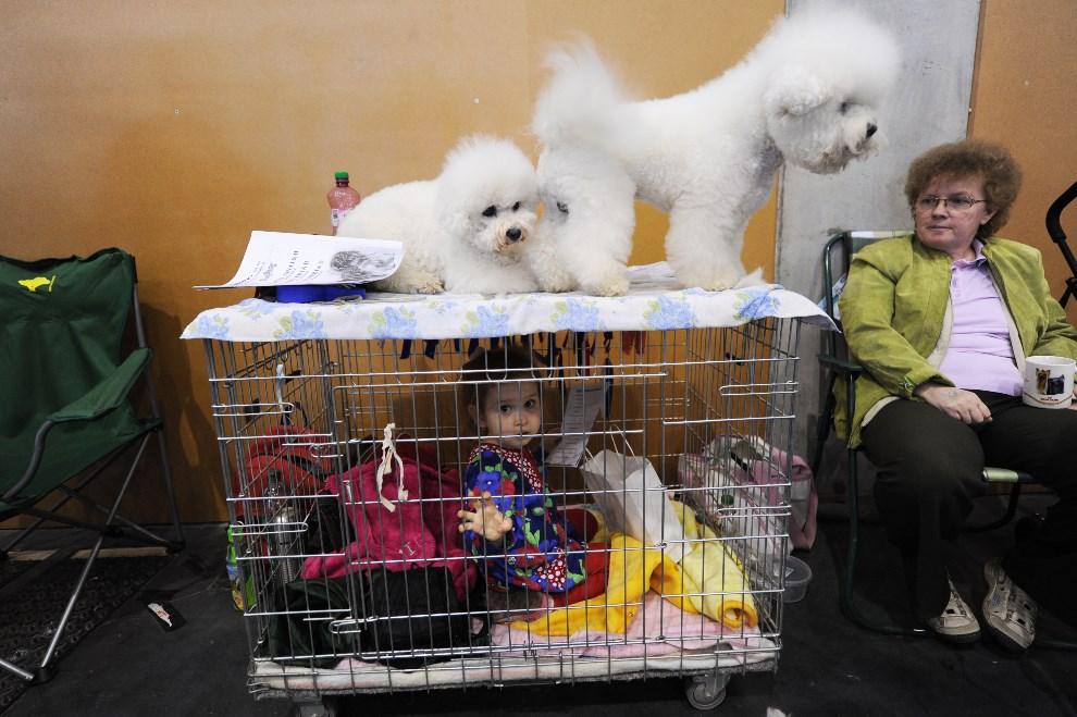 17.WĘGRY, Budapeszt, 16 maja 2013: Wystawa psów w Budapeszcie. AFP PHOTO / ATTILA KISBENEDEK